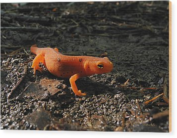 Eastern Newt Red Eft Wood Print