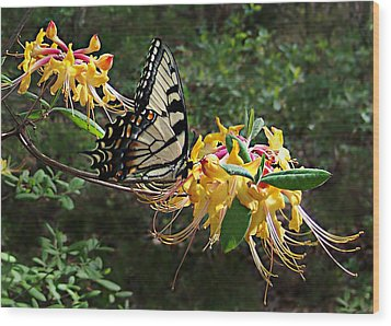 Wood Print featuring the photograph Eastern Tiger Swallowtail Butterfly by William Tanneberger