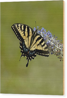 Eastern Tiger Swallowtail On Butterfly Bush Wood Print by Lara Ellis