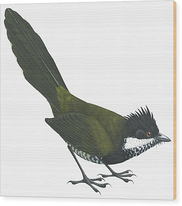 Eastern Whipbird Wood Print by Anonymous