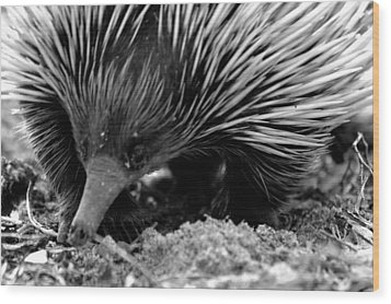 Wood Print featuring the photograph Echidna by Miroslava Jurcik