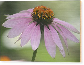 Echinacea Pink Coneflower Wood Print by Penny Hunt