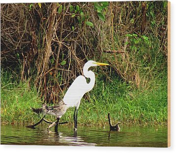 Egret And Ducks Wood Print by Will Boutin Photos