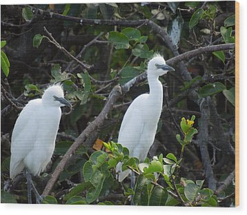 Egret Chicks Waiting To Be Fed Wood Print by Ron Davidson