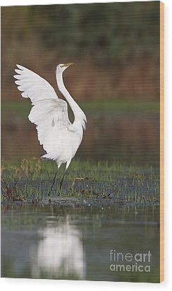 Egret Dancing Wood Print by Bryan Keil