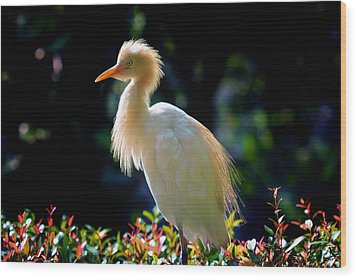 Egret With Back Lighting Wood Print