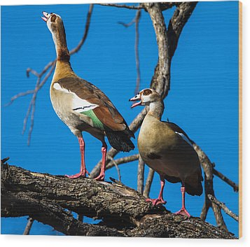 Egyptian Geese Wood Print by Craig Brown