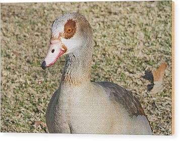 Egyptian Goose  Wood Print by Shoal Hollingsworth