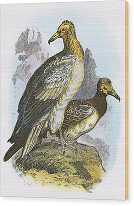 Egyptian Vulture Wood Print by English School