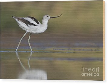 Elegant Avocet Wood Print by Bryan Keil