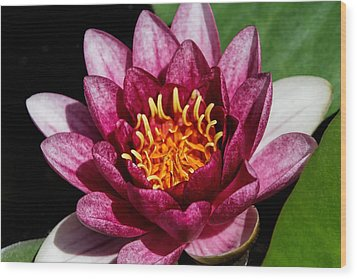 Elegant Lotus Water Lily Wood Print