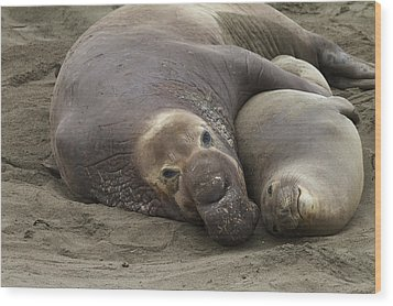 Elephant Seal Couple Wood Print by Duncan Selby
