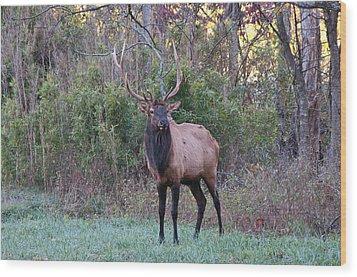 Elk - 7597 Wood Print