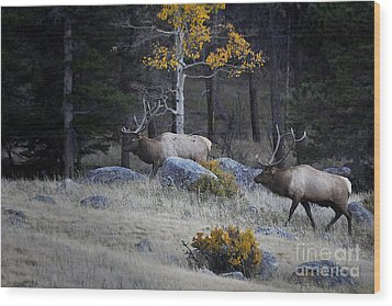 Wood Print featuring the photograph Elk Battle Stalk by Nava Thompson