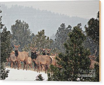 Wood Print featuring the photograph Elk In The Snowing Open by Barbara Chichester