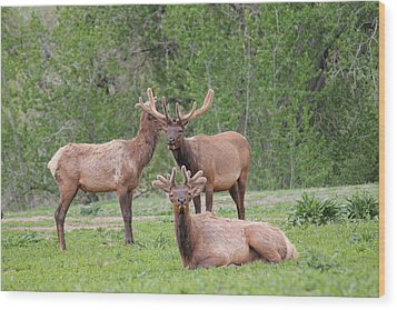 Elk In Velvet Wood Print by Trent Mallett