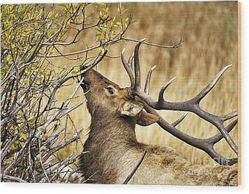 Elk Portrait Wood Print