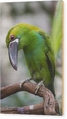 Emerald Toucanet Wood Print by Phil Abrams