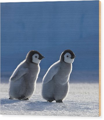 Emperor Penguin Chicks Wood Print by Jean-Louis Klein and Marie-Luce Hubert
