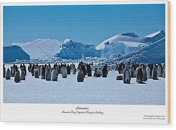 Emperor Penguin Rookery Wood Print by David Barringhaus