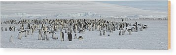 Emperor Penguins Aptenodytes Forsteri Wood Print by Panoramic Images