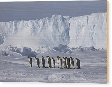 Emperor Penguins Walking Antarctica Wood Print by Frederique Olivier