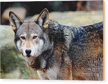 Endangered Red Wolf Wood Print