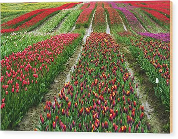 Endless Waves Of Tulips Wood Print