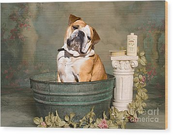 English Bulldog Portrait Wood Print by James BO  Insogna