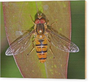 Episyrphus Balteatu Wood Print by Paul Scoullar