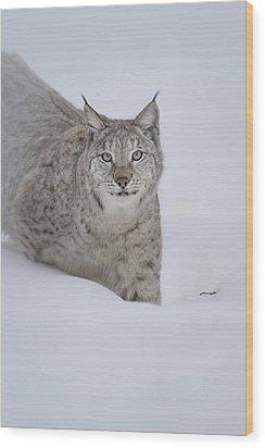 Eurasian Lynx Wood Print by Andy Astbury