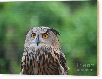 Eurasian Or European Eagle Owl Bubo Bubo Stares Intently Wood Print by Imran Ahmed