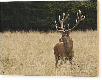 Wood Print featuring the photograph Bull Elk by Inge Riis McDonald