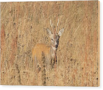 Wood Print featuring the photograph European Roe Deer by Jivko Nakev