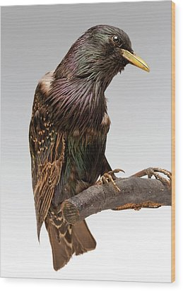 European Starling Wood Print by Ucl, Grant Museum Of Zoology