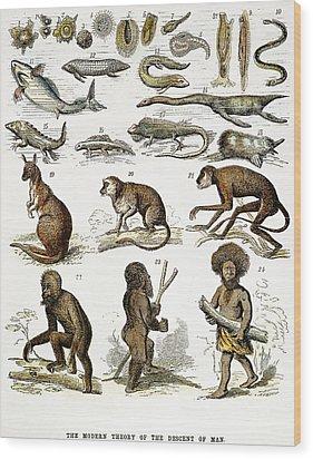 Evolution Chart Wood Print by Granger