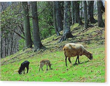 Ewe And Spring Lambs Grazing Wood Print by Thomas R Fletcher