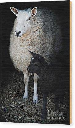 Ewe With Newborn Lamb Wood Print by Stephanie Frey