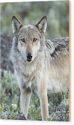Eye Contact With A Gray Wolf Wood Print