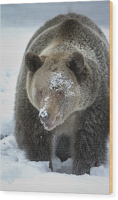 Eye Of Grizzly Wood Print