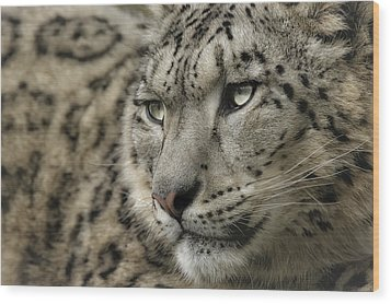 Eyes Of A Snow Leopard Wood Print
