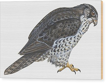 Falcon Wood Print by Anonymous