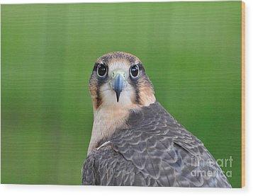 Falcon Wood Print