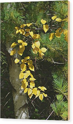 Wood Print featuring the photograph Fall Birch by Judy  Johnson