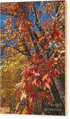 Fall Maple Forest Wood Print by Elena Elisseeva
