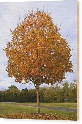Fall Sugar Maple Wood Print by Melinda Fawver