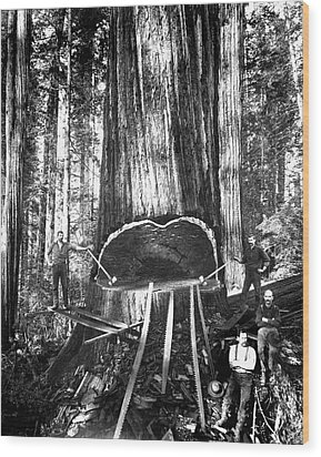 Falling A Giant Sequoia C. 1890 Wood Print by Daniel Hagerman