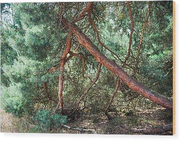 Falling Pine Tree In Veluwe National Park. Netherlands. Wood Print by Jenny Rainbow