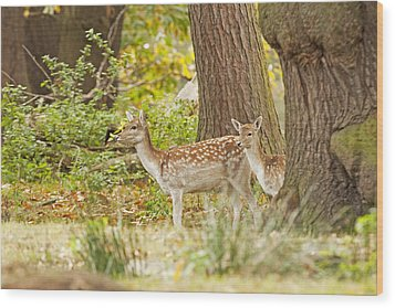 Fallow Deer Woodland Scene Wood Print by Paul Scoullar