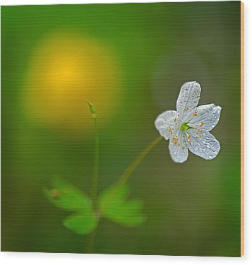 False Rue Anemone Wood Print by Robert Charity